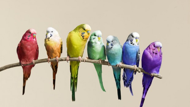 Budgie Health Hazards